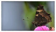 Late September and still enjoying many Butterflies in the garden.