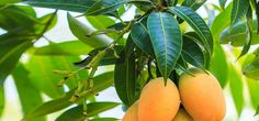 We all love mangoes, don't we? But how about mango leaves? Are you aware of the greatness of mango leaves and the amazing benefits they offer? Read on to know