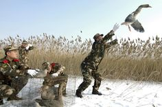 A paramilitary policeman releases a wild goose in Linghai, Liaoning province, January 20, 2015. About eight wild geese, which were found injured, were set free after having their wounds treated by a team of paramilitary policemen.   Photographer China Daily China Daily Information Corp - CDIC Location: LINGHAI, China Reuters / Tuesday, January 20, 2015