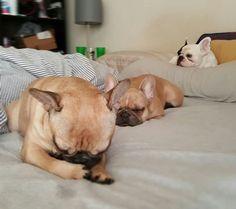 French Bulldog Family ❤❤❤