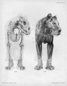 Image result for lion muscle anatomy