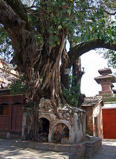 Sacred tree crushing sacred shrine Nepal via Nepal Airlines, Royal Brunei Airlines, Enchanted Kingdom, Nepal Kathmandu, Twisted Tree, Asia, Blooming Trees, Tibet, Travel Around The World