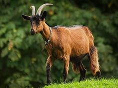 booted goat - Google Search