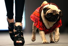 Sao Paulo, Brazil  (Andre Penner / Associated Press / April 24, 2010)  A model and a dog walk the catwalk during Pet Fashion Week in Sao Paulo. (via Photos | Pictures in the News - latimes.com)
