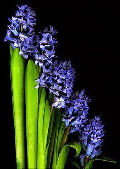 Blue Hyacinths are a key ingredient in NEST Fragrances' Blue Garden fragrance to benefit Autism Speaks.