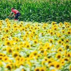 """@jeredgruber: Sunflowers! #tdf pic.twitter.com/o5lQQak6iK"" great picture"