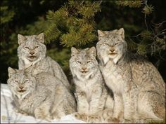 The Canada lynx or Canadian lynx is a North American mammal of the cat family. It is a close relative of the Eurasian Lynx (Lynx lynx). However, in some characteristics the Canada lynx is more like the bobcat than the Eurasian Lynx. It ranges across Canada and into Alaska as well as some parts of the northern United States.