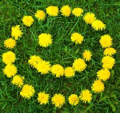 Smile<br> Stock Photo - Close-up of dandelion flower's smiley at the field Dandelion Coffee, Dandelion Flower, Dandelion Leaves, Happy Smile, Make You Smile, Are You Happy, Smile Smile, Smiley Happy, Smileys