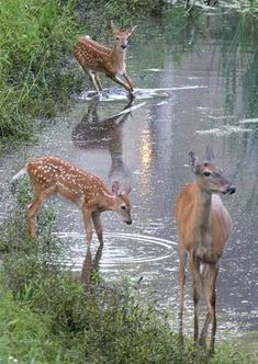deer in the rain