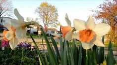 ✿My beautiful daffodils with apricot pink center✿