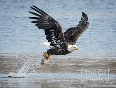American Bald Eagle Taking Off! Wisconsin River  (C) Copyright Ricky L.Jones Photography 1995-2016 All rights reserved