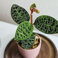 @thepottedjungle | Macodes petola #houseplants #pl... - #houseplants #indoors #Macodes #petola #Pl #thepottedjungle - Green Friends for Our Home  IMAGES, GIF, ANIMATED GIF, WALLPAPER, STICKER FOR WHATSAPP & FACEBOOK