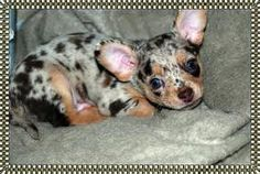 merle chihuahua pup, Beautiful little guy~
