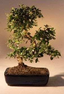 9GreenBox - Imported Flowering Fukien Tea Indoor Bonsai Tree Flowering  IMPORTED FUKIEN TEA BONSAI TREE  COMES IN A 6 INCH GLAZED BONSAI POT  FLOWERS MANY TIMES EACH YEAR  INDOOR TREE. JUST KEEP WELL WATERED  WE HAND PICK OUT THE NICEST TREE AS SHOWN IN PICTURE