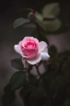 Rose by Jackie Sajewski - Flores Rose Flower Wallpaper, Wallpaper Nature Flowers, Beautiful Flowers Wallpapers, Beautiful Rose Flowers, Flower Backgrounds, Flowers Nature, Amazing Flowers, Pretty Flowers, Pink Flowers