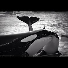 46 Best Killer Whales Images Killer Whales Orcas Whales