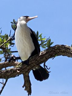 Pied Shag in Shakespear Park, Auckland, New Zealand