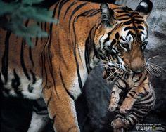 あばずれ女非常に責任の母とふくらはぎ 動物 高解像度で壁紙