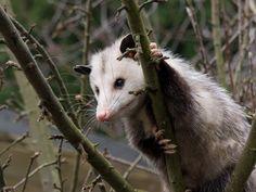 Possum in green apple tree, February 2007