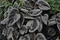 """Begonia burkillii (silver edge form) $16.99 4"""" Pot """" Leaves have a wide silver edge and large silver section on them. """""""