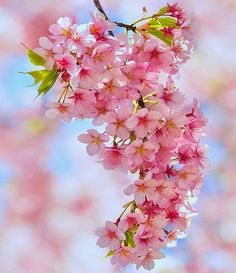 Cherry Blossoms - Gloriously beautiful
