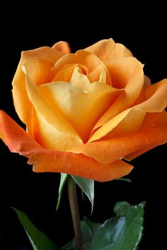 Single Orange Rose Photograph by Garry Gay - Single Orange Rose Fine Art Prints and Posters for Sale