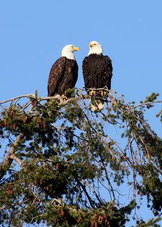 Birdwatching | Bald Eagles in Darrington, WA