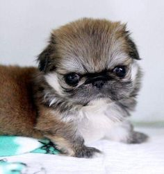 14 Best teacup pekingese puppies images in 2015   Adorable
