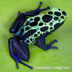 Dart Frog Connection - Dendrobates Tinctorius Green Sipaliwini - Dendrobates - Dart Frogs