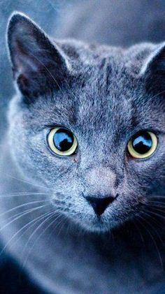 Cats look wallpaper for nokia lumia Pretty Cats, Beautiful Cats, Russian Blue Cat Personality, Look Wallpaper, Funny Cat Pictures, Animal Kingdom, Mammals, Cats And Kittens, Funny Cats