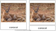 Big Cat Montessori 3-Part Classified Cards - Includes 11 types of big cats
