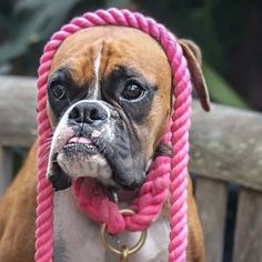 """Lily must be one of the cutest boxers ever! With her pink Lasso ensemble she just looks adorable :"""") @aloha_lilygram"""