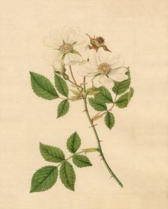 Sydenham Teast Edwards -- Rosa arvensis -- Rose -- View By Flower -- RHS Prints