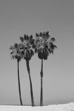 Palm Trees of Venice Beach in Black and White