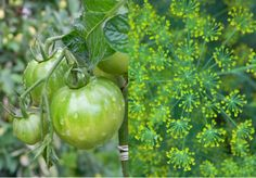 Tomaatti 'Outdoor girl'