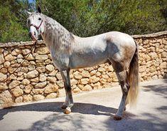 Lusitano en venta Horses, Animals, Horses For Sale, Equestrian, Animales, Animaux, Horse, Words, Animal