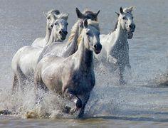 Camargue Wild Horses, Provence