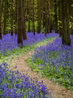 Bluebell path (Henley-in-Arden, England) by Christian Hauzar on 500px