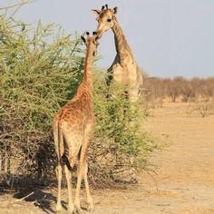 Giraffes at Onguma Game Reserve, Etosha National Park, Namibia #giraffes #giraffe #onguma #ongumabushcamp #ongumathefort #etoshanationalpark #etosha #namibia #africa #wildlife #wilderness #travel #africansafaria #africanamazing #africanholidays #greatnature #loveafrica #canon #conservation #canon_official #nature #natgeowild #naturelovers #naturephotography #nationalgeographic #longlegs #longtongue #longbeck