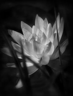 Monochrome Nymphaea Waterlily Photograph