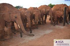 Es vergehen einige Jahre bis sich die Jungelefanten in der Auswilderungsstation in eine wildlebende Herde eingegliedert haben, weshalb auch hier ständige Betreuung erforderlich ist. So erhalten die kleinen Elefanten Zusatzfutter und die jüngeren bekommen auch  Ersatzmilch. Nairobi, Elephant, Animals, 3 Year Olds, Elephants, National Forest, Animales, Animaux, Animal