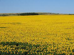 lo amo, ojala no me muera sin verlo con mis propios ojos. Sunflower field in Romania