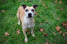 FAIRMONT, WV - MARLEY is an adoptable Pit Bull Terrier & Boxer Mix searching for a forever family near Fairmont, WV. Use Petfinder to find adoptable pets in your area.