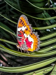 Malay Lacewing ˚