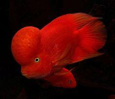 Red Flowerhorn?