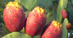 http://www.fao.org/traditional-crops/cactuspear/es/