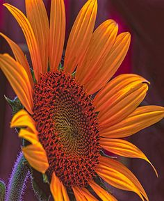 ~~On a Golden Day ~ sunflower by JohnDSmith~~
