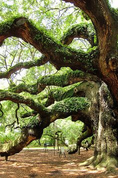 Magical Places In The South You Won't Believe Actually Exist Angel Oak – South CarolinaAngel Oak – South Carolina Francis Hallé, Wonderful Places, Beautiful Places, Angel Oak, Unique Trees, Old Trees, Adventure Is Out There, Amazing Nature, South Carolina