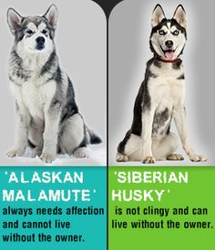 Comparison between Alaskan Malamute and Siberian Husky. Of course Mal's are better !