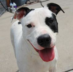 TO BE DESTROYED 8/17/13 Brooklyn Center - P  My name is MOLLY. My Animal ID # is A0974802. I am a female white and black pit bull mix. The shelter thinks I am about 7 MONTHS old